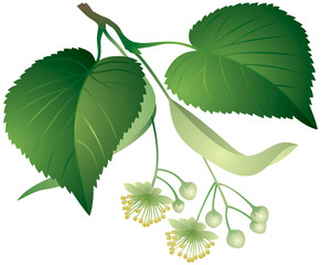 Tilia leaves and flowers