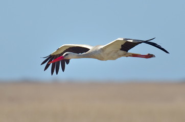 stork flying against the sky