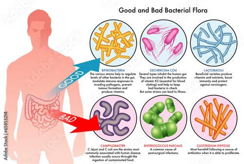 buona e cattiva flora batterica intestinale - 65853214