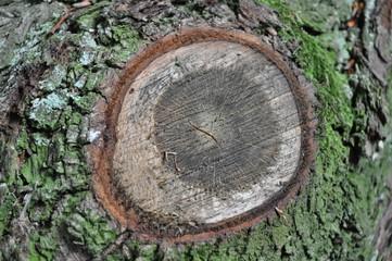 Schnitt beim Baumstamm
