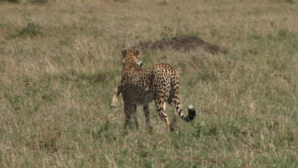 cheetah hunting a baby gazelle