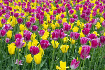 different colored tulips