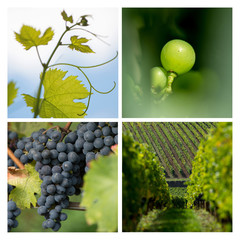 Collage-Grape-Vine Vineyard