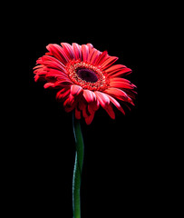 Red gerbera on black background.