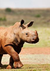 Cute wild baby White Rhino covered in mud walking