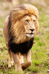 Large black maned Kalahari Lion walking on new grass