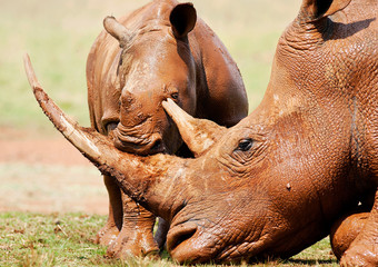Cute wild baby White Rhino playing with it's mothers horn