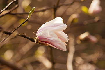 Magnolia white  flowers