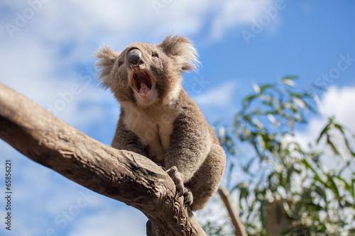 Fotobehang Koala Koala sitting and yawning on a branch.