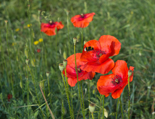 Bee pollinating bright red poppy flower in field