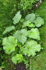 Gemüse-Rhabarber