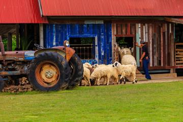 Sheep Livestock