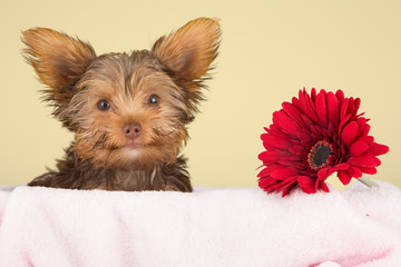 Tired cute little Yorkshire terrier resting on a soft pink bed a
