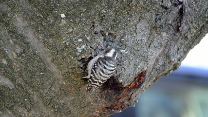 Woodpecker searches for insects on a tree