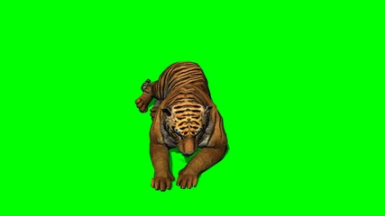 Tiger lies - green screen