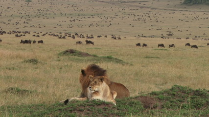 Lion couple resting with background of wildebeests