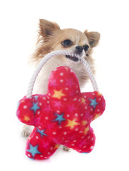 chihuahua and toy