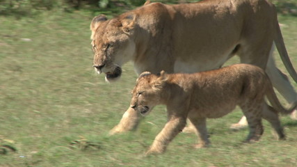 Lioness and a cub walking together