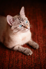 Young cat with beautiful blue eyes