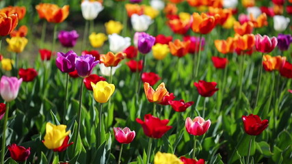 field of blooming different color tulips