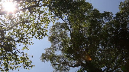 HD Pan view : Top of Tree with sky and sunlight