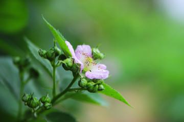 Blossoming blackberr
