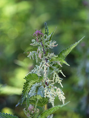 Stinging nettle with flowers