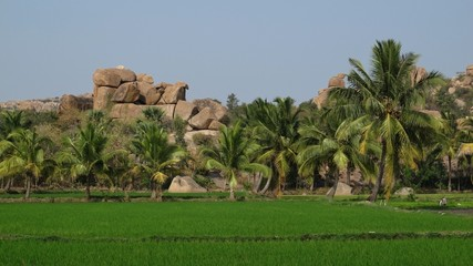 Granite boulder, rice fields and palms