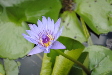 Water lily flower Latin name Nymphaea colorata