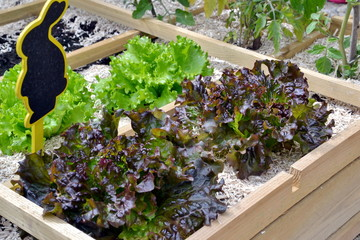 carré potager-plant de salade