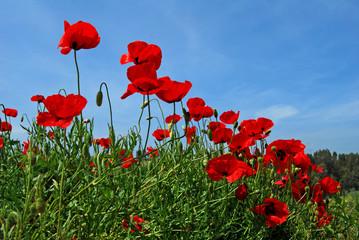 Amapolas, flores silvestres, campo, paisaje