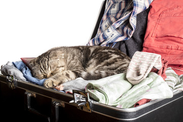 Scottish Fold cat sleeping in a suitcase