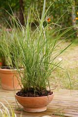 Calamagrostis acutilfora Overdam - reed