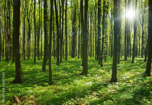 forest trees. nature green wood sunlight backgrounds. - 65874283
