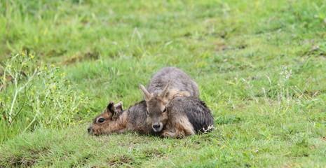 Young Mara (Dolichotes)