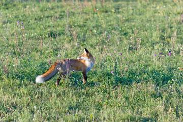 European fox (Serbia)