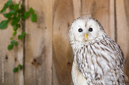 Plexiglas Uil Ural Owl