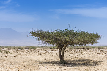 Lonely tree in desert of the Negev , Israel
