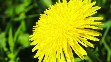 Dandelion flower in the meadow