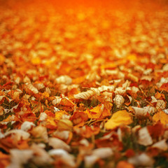 Dry autumn leaves at sunset