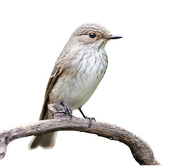 Spotted Flycatcher on White Background