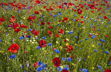 Rot-Blaue Blumenwiese