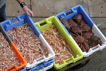 arrivage de langoustines, port de pêche , bretagne