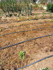 drip irrigation and fertilizer