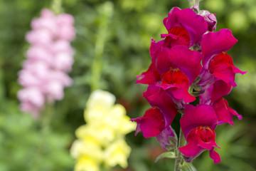 赤いキンギョソウの花