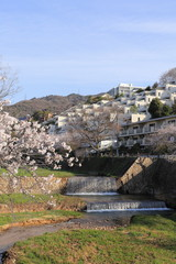 Cherry blossom at Ashiya river in Japan