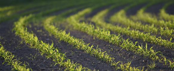 Maîs-Corn Field