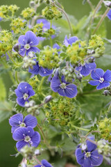 blaue Ehrenpreisblüten - Veronica officinalis