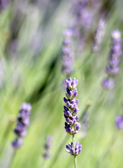 clumps of Purple LAVENDER in the large lawn in bloom