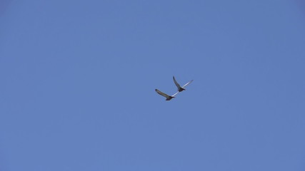 Pair of Birds in the Clear Sky